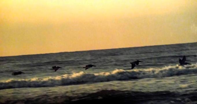 choregraphie de pelicans